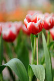 The red-white tulip i Stock Photos