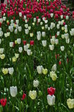 Red pink and White tulip road at festival Royalty Free Stock Image
