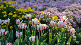 The red and white tulip in the spring Stock Photos