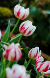The red and white tulip in the spring Royalty Free Stock Photo
