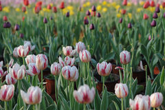 The red and white tulip in the spring Stock Photo