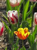 Red and White Tulip with Yellow and Orange Tulip royalty free stock photo