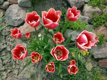 Red white tulips Royalty Free Stock Images