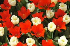 Red and white tulips. Natural backgrounds: red and white tulips Stock Images