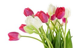 Red and white tulips stock photos