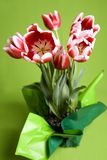 Red  and white tulips. Beautiful red and white tulip flowers on a green background Stock Photos