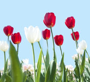Red and white tulips Royalty Free Stock Image