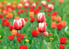 Red and white tulips. With tulip background Stock Image