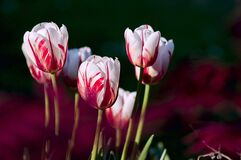 Red white tulips Royalty Free Stock Image