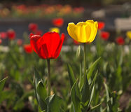 Red and white tulips Stock Images
