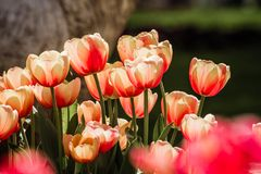 Red and White  Tulips in Bloom Stock Image