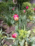 Red and white tulips blooming in spring among green plants in the city flowerbed Royalty Free Stock Image