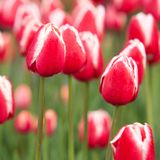 Red-white tulips blossoming in a summer field. Beautiful closed red-white tulips with drops of dew on petals flowering in a summer park or in the garden stock image