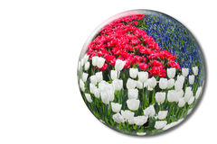 Red white tulips and blue grape hyacinths in crystal sphere Royalty Free Stock Photo