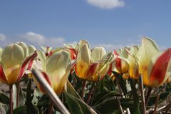 Red and white tulips and blue sky Stock Photos