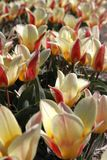 Red and white tulips and blue sky Royalty Free Stock Image