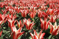 Red and white tulips and blue sky Royalty Free Stock Images