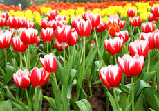 Red and white Tulips. In Botanic Garden Stock Photography