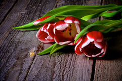 Red-White Tulips Stock Image