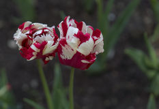 Red and white tulips. Close up view Royalty Free Stock Images