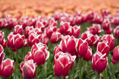 Red-white tulips on a field Royalty Free Stock Images