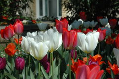 Red and white Tulips. In the field Royalty Free Stock Photo