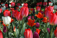 Red and white Tulips. In the field Stock Image