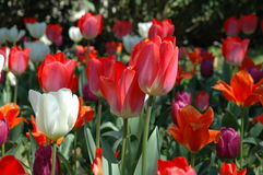 Red and white Tulips. In the field Royalty Free Stock Photos