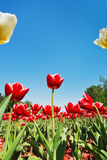 Red and white tulips on flower bed on blue sky Royalty Free Stock Photo