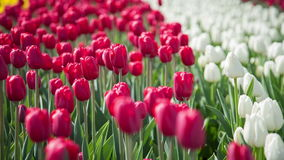 Red and white tulips stock video