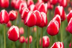 Red-white tulips flowering in the garden or in the park. Beautiful closed red-white tulips with drops of dew on petals flowering in the garden or in the parkn royalty free stock images