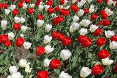The red and white tulips decorate this image. The red and white tulips freshen up this garden during a summer morning stock images