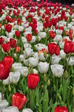 Romantic Red and White Tulips Royalty Free Stock Images