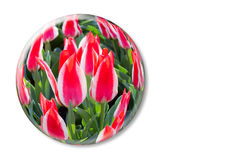 Red white tulips in glass sphere on white background Stock Photography