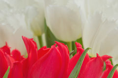 Red and white tulips with green leaves. Yellow stamens, photographed close, bouquet Royalty Free Stock Image