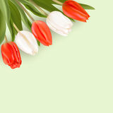 Red and white tulips on a light background. Realistic vector tulips. Red and white spring flowers. Ready template for greeting cards Royalty Free Stock Photos