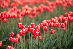Red White Tulips Rows Bend Towards Sunlight Floral Agriculture F Stock Photo