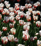 Red and white tulips in Spring Stock Photo