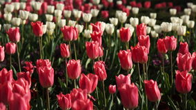 Red and White Tulips Spring Flowers. Red and White Tulips Blooming in Spring Park stock video