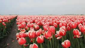 Red and white tulips swaying in the wind. In Holland stock video footage