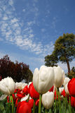 Red and white tulips under sky Royalty Free Stock Photo