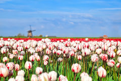 Red and white tulips and windmill Royalty Free Stock Image