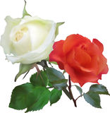 Red and white two isolated roses Stock Photo