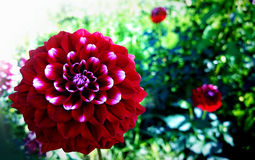 Red and white variegated dahlia in garden Stock Images