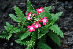 Red and white verbena flowers blooming top view, dark soil and leaves background. Red and white verbena flowers blooming top view, dark soil and green leaves stock photos