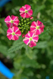Red and white verbena flowers in a garden Stock Images