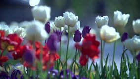 Red White and Violet Tulips in Spring Park stock video