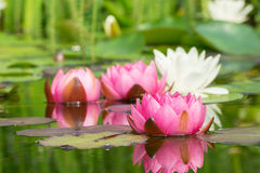 Red and white water lilies Royalty Free Stock Image