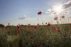Poppy field in sunshine stock images