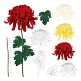 Red, White, Yellow Chrysanthemum with Outline, Kiku Japanese Flower with Outline isolated on White Background. Vector Illustration.  stock illustration